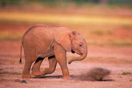 小象阿拉贝拉