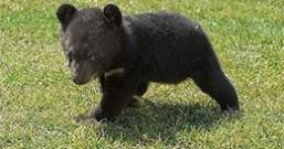 想当熊猫的黑熊
